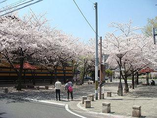 桜あ.jpg