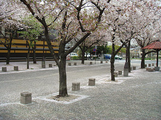 桜え.jpg